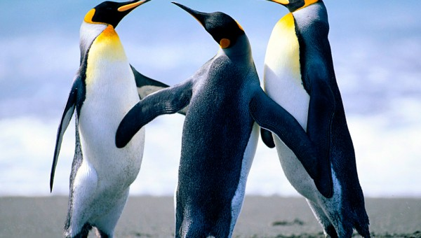 Penguins-600×340